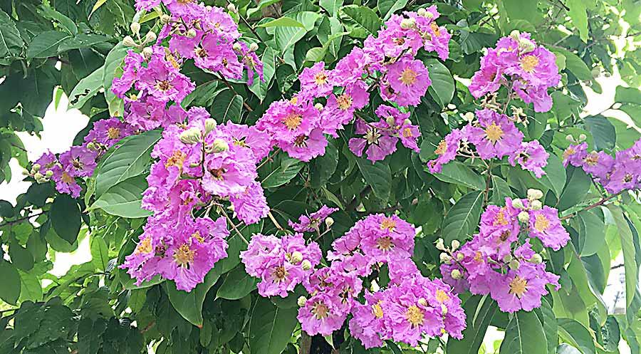 バナバの花
