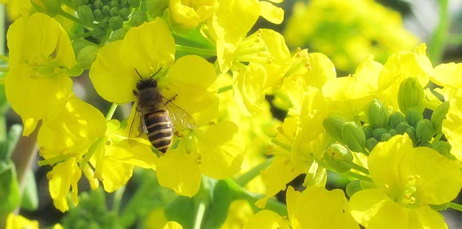 王乳とミツバチ